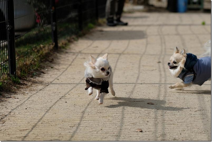 チワワ・犬、怖がり、追いかけっこ