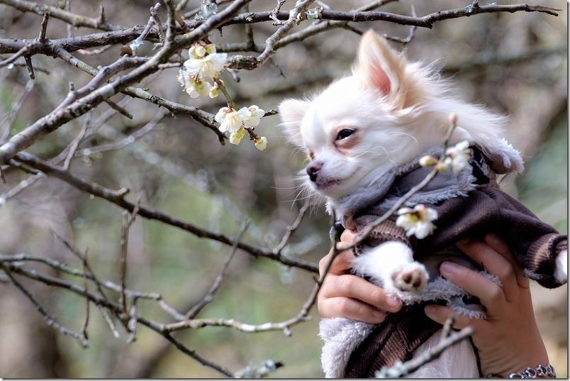 糸島、小富士梅林を犬と散歩
