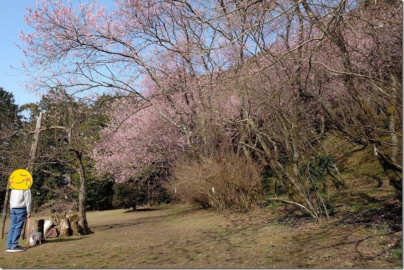 満開の那珂川・初御代桜へ到着