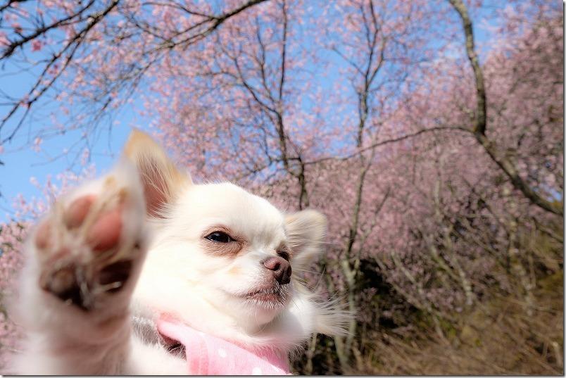 満開の那珂川・初御代桜とチワワ(犬)