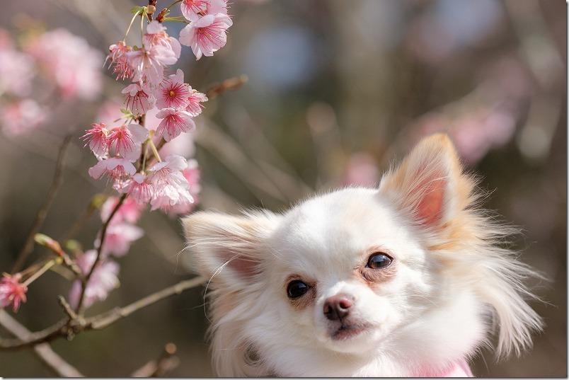 満開の那珂川・初御代桜と犬