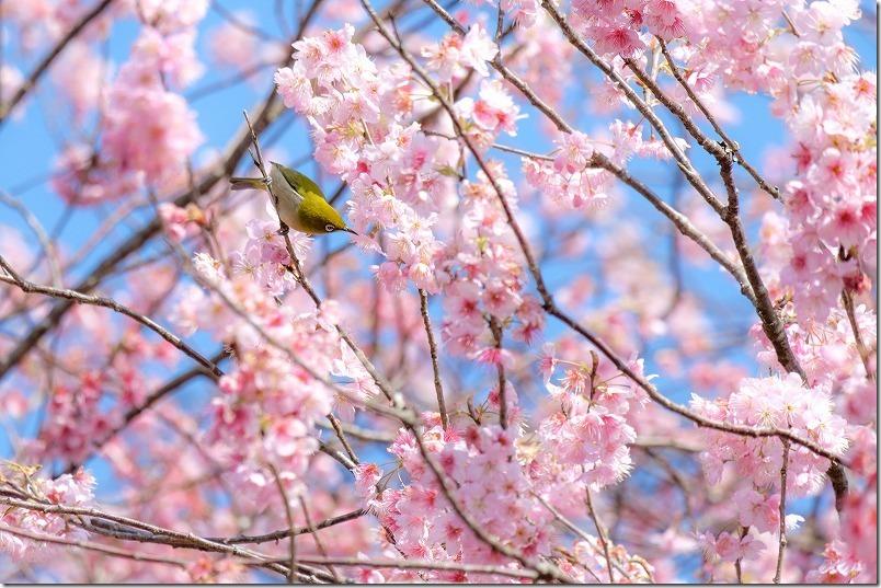 満開の那珂川・初御代桜とメジロ