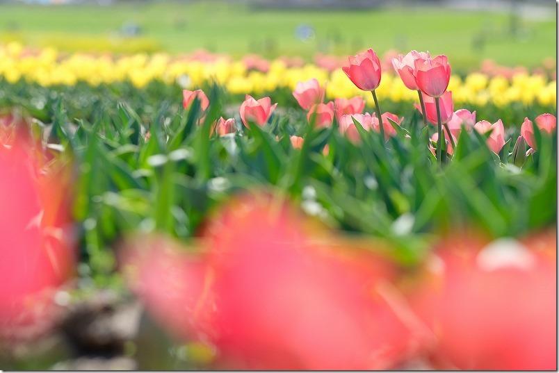 直方チューリップ畑の開花状況(3月連休)
