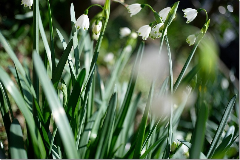 すずらん水仙、3月開花