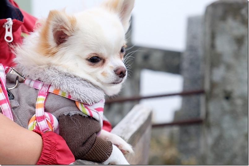 脊振山頂上で犬(チワワ)
