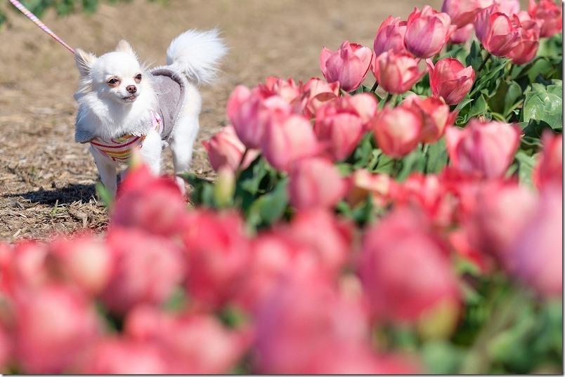 直方チューリップ畑を犬(チワワ)と散策