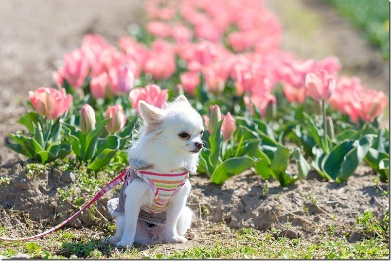 直方チューリップ畑で犬(チワワ)とチューリップ
