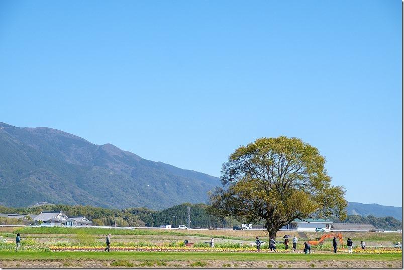 直方チューリップ畑(遠賀川河川敷)2020