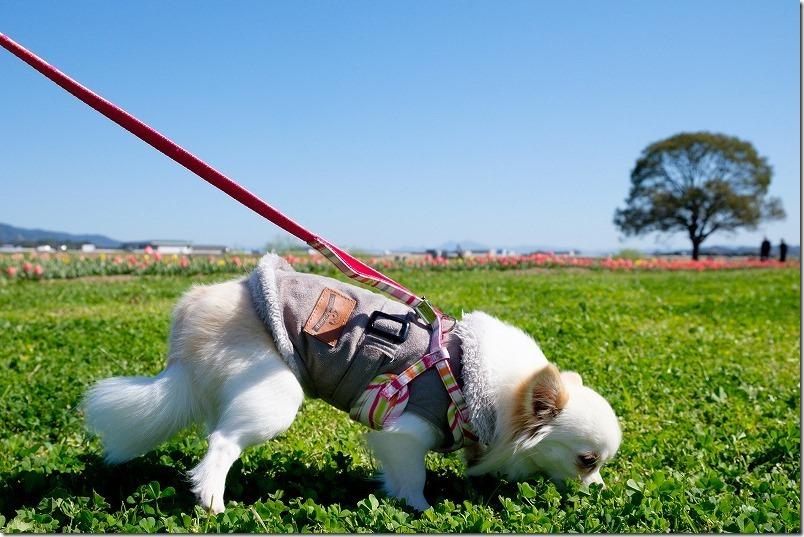 直方チューリップ畑を犬(チワワ)と散策・散歩