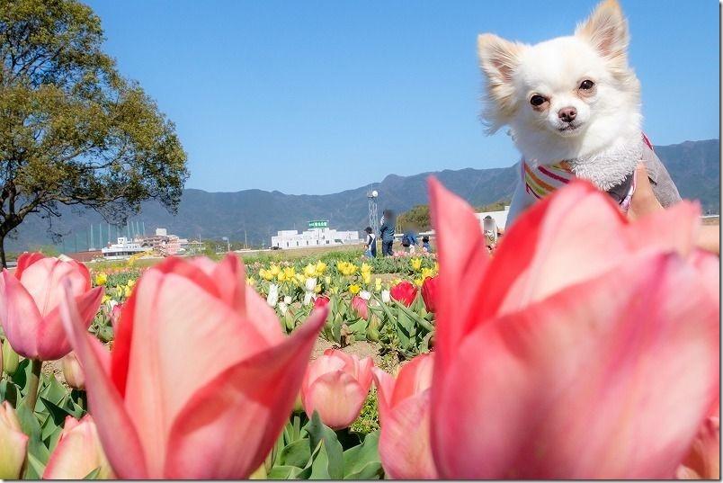 直方チューリップ畑・犬とチューリップ