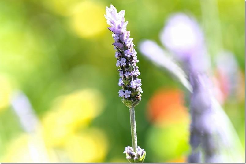 4月、福岡の花、デンタータラベンダー