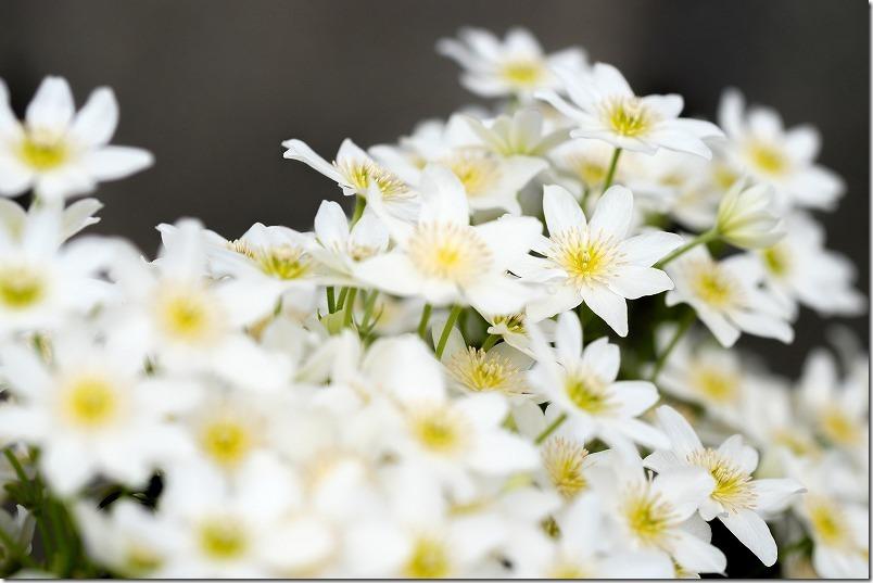 4月、福岡の花、クレマチス、カートマニジョー
