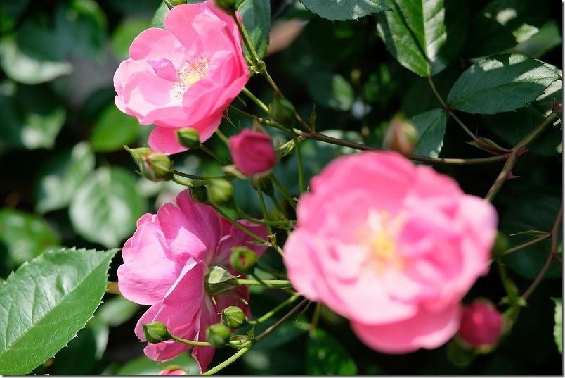 ピンクのつるバラ:アンジェラ