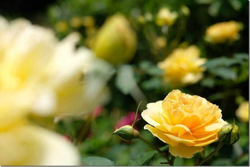 黄色orオレンジのバラ:モリニュー