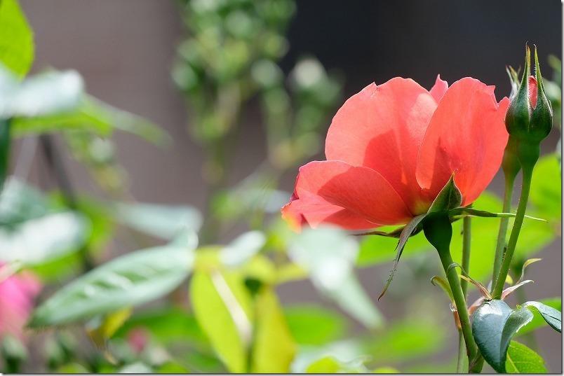 赤茶のバラ:ホットココア