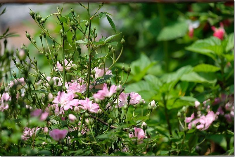 白&ピンクのレンゲのようなバラ:八女津姫