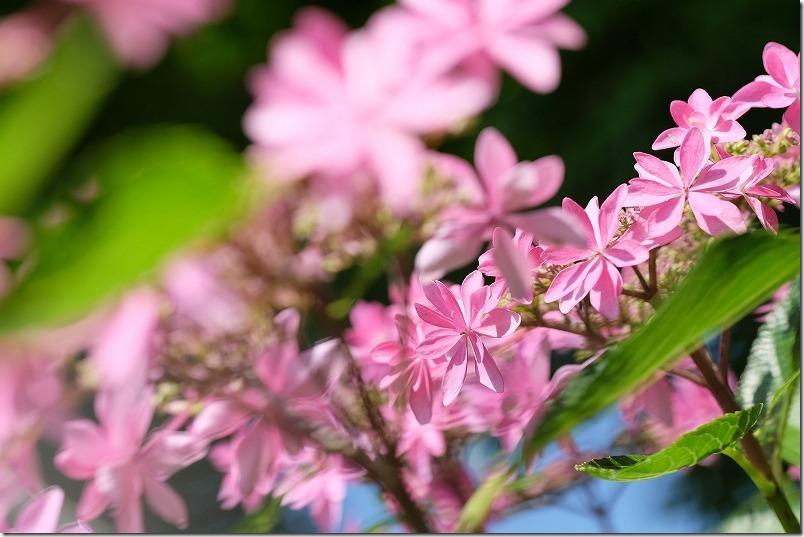 ピンクの紫陽花ダンスパーティー