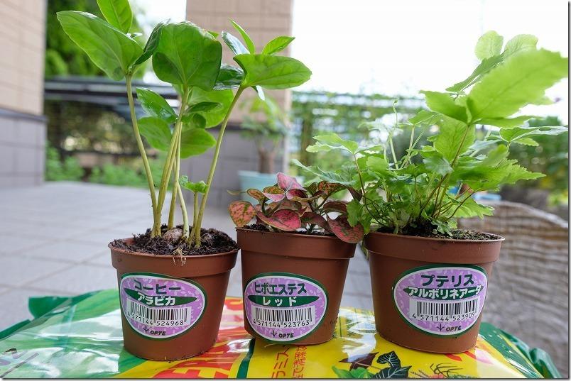 コーヒー、ビボエステス、プリテスの観葉植物