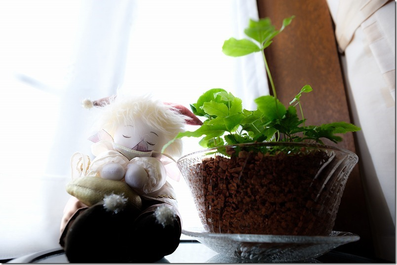夏用にガラス鉢(そうめん皿)に寄植え、観葉植物