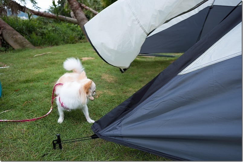 犬と一緒に糸島でキャンプ、風で揺れるテント