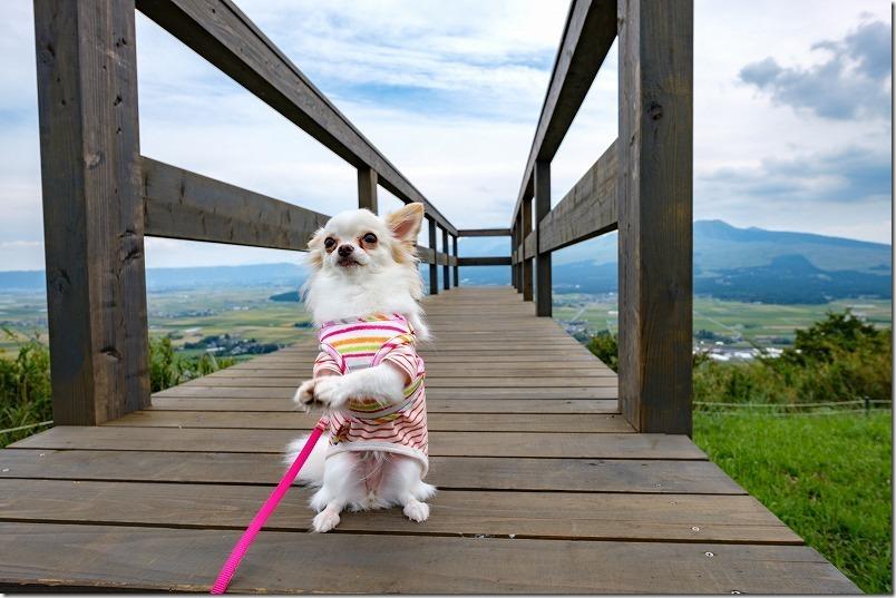 そらの船桟橋にチワワ(犬)の仁王立ち