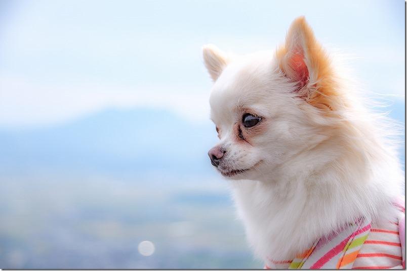 阿蘇と「こむぎ」(チワワ・犬)