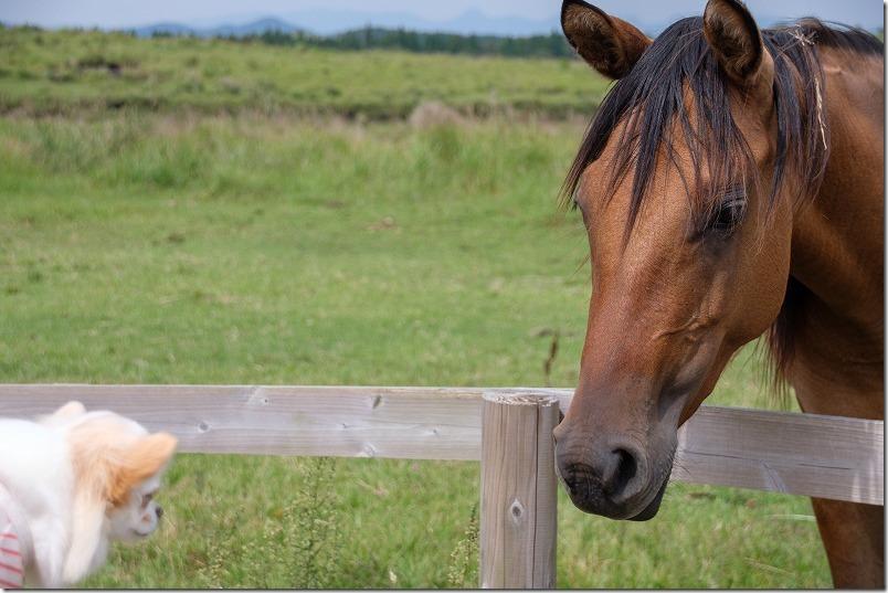 阿蘇で馬とチワワが初対面