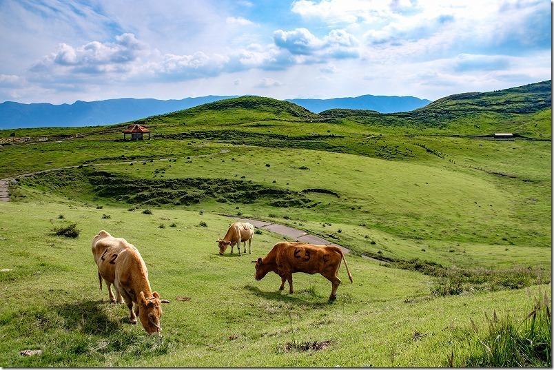 阿蘇の放牧牛、池の窪園地を犬と子供と見学