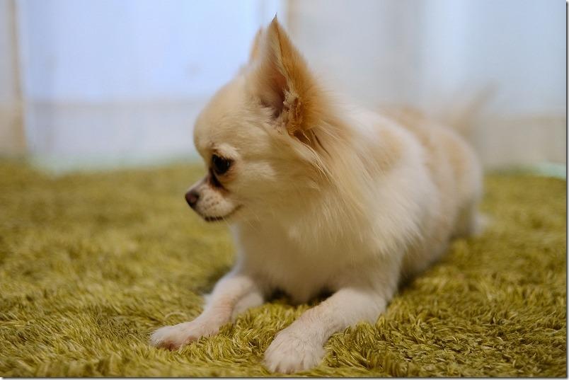 パナソニック、ナノケアドライヤー(EH-NA2B)を犬で使用結果