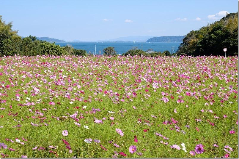 糸島、今津中田コスモス広場、海と段々畑のコスモス