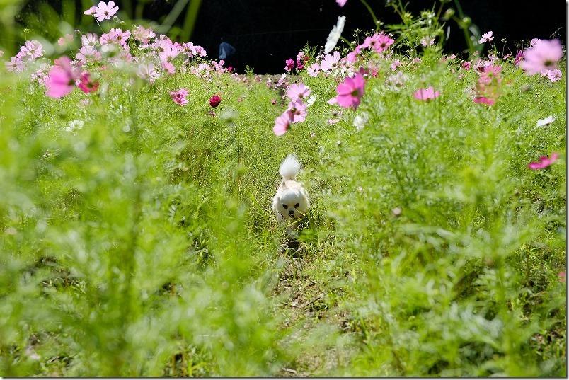 糸島、今津中田コスモス広場の中を犬と散策