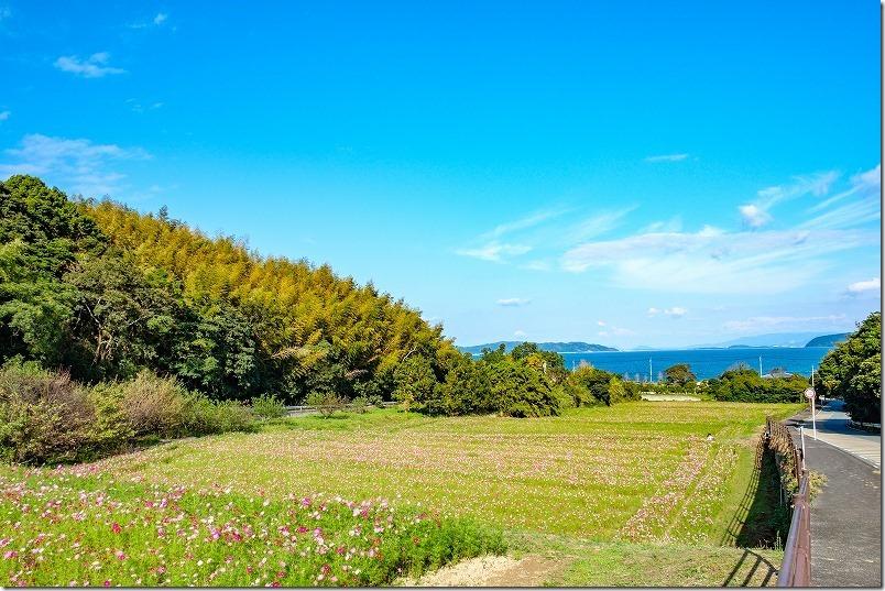 糸島、今津中田コスモス広場、海と段々畑のコスモス畑