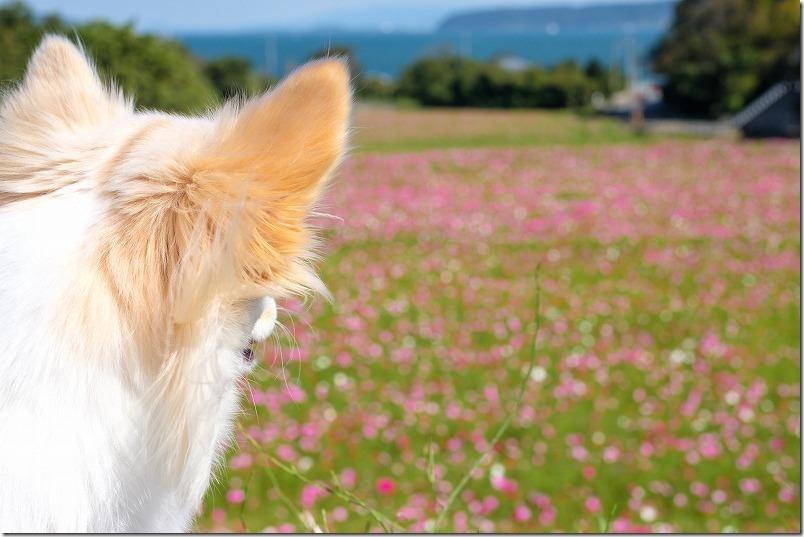 糸島、今津中田コスモス広場、海と段々畑のコスモスで犬と