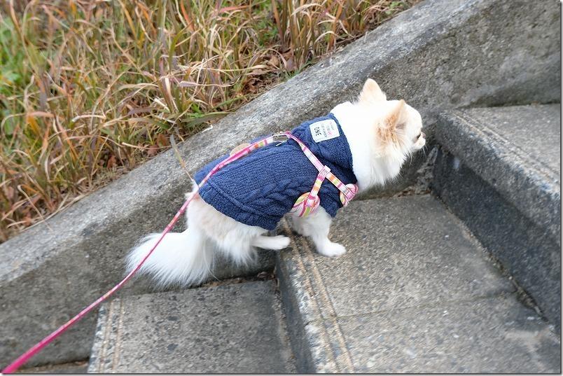 寒けどチワワとお散歩