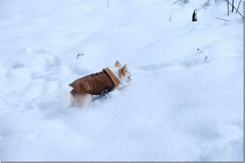 雪道を進むチワワ