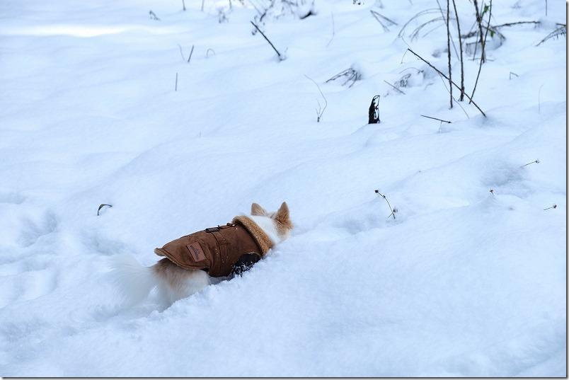 雪道を進むチワワ、散歩
