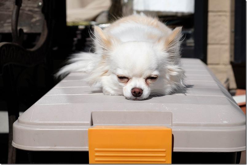 収納ボックスアイリスオーヤマの上で寝る犬、チワワ