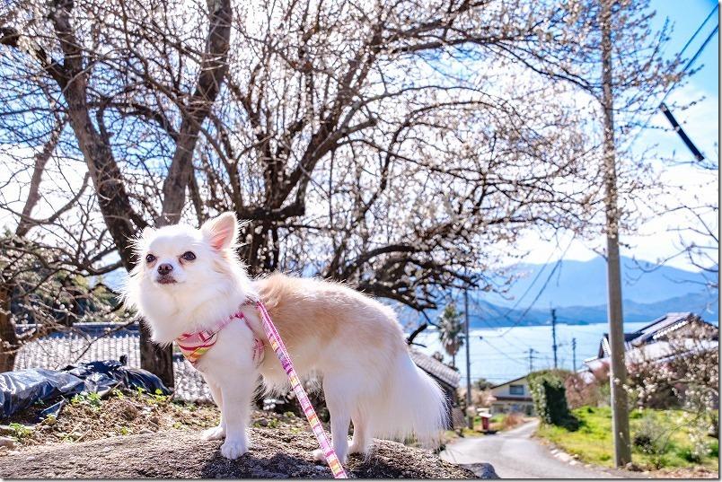 糸島,小富士梅林を犬とお散歩