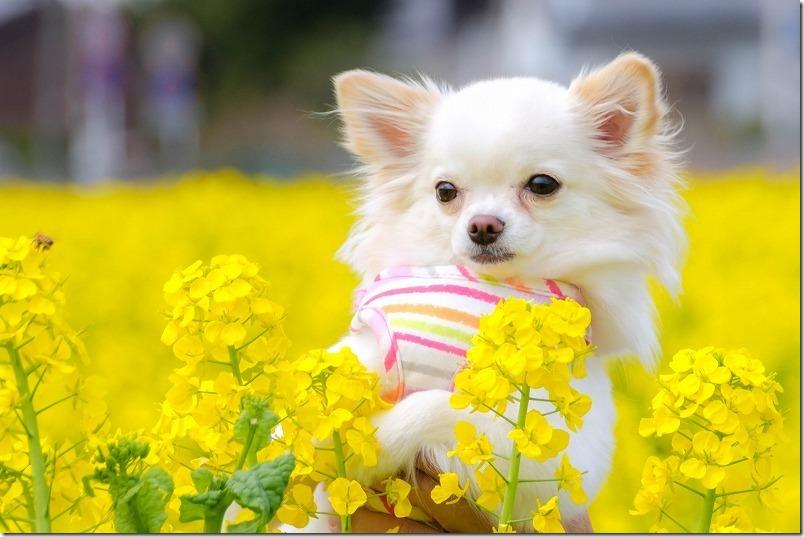 糸島二丈,福ふくの里の菜の花とチワワ犬
