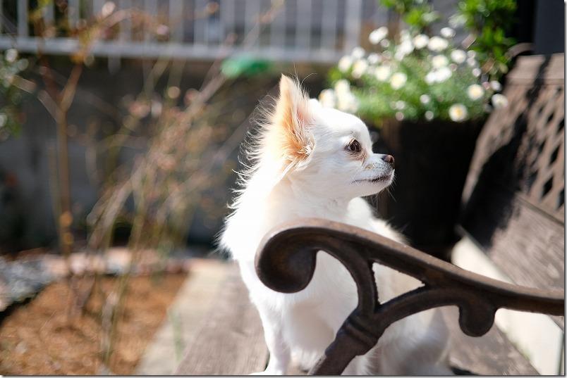 犬日向ぼっこ、チワワ