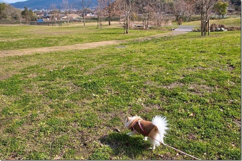 金武の里公園を犬(チワワ)と散歩、広場
