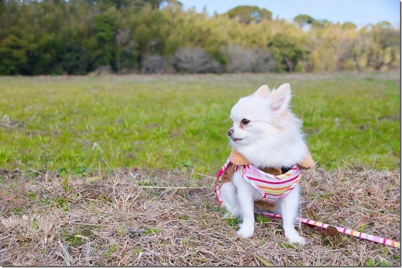 金武の里公園を犬(チワワ)と散歩