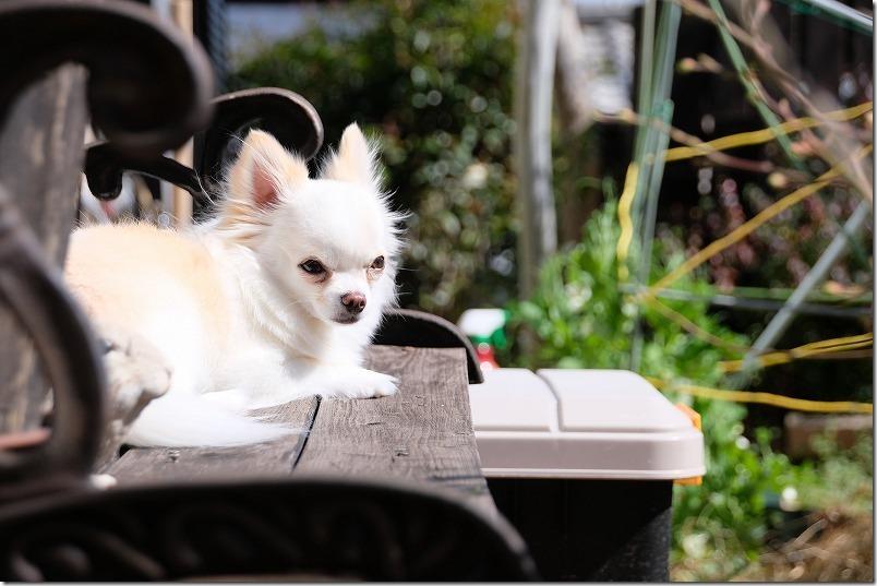 犬チワワの渡り廊下を収納ボックスで、アイリスオーヤマ