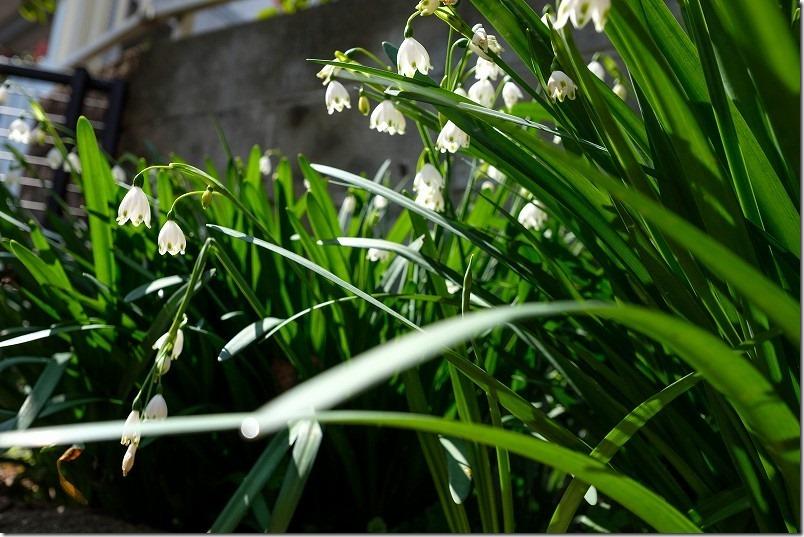 3月に咲いた花、すずらん水仙