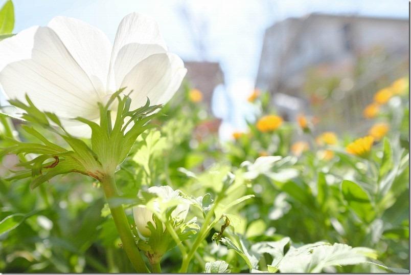 3月に咲いた花、アネモネ