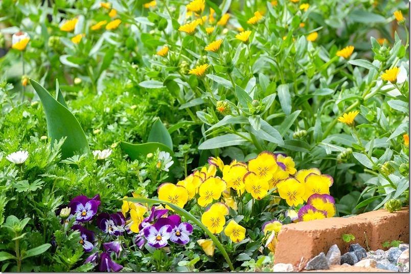 3月に咲いた花、冬知らず、ビオラ