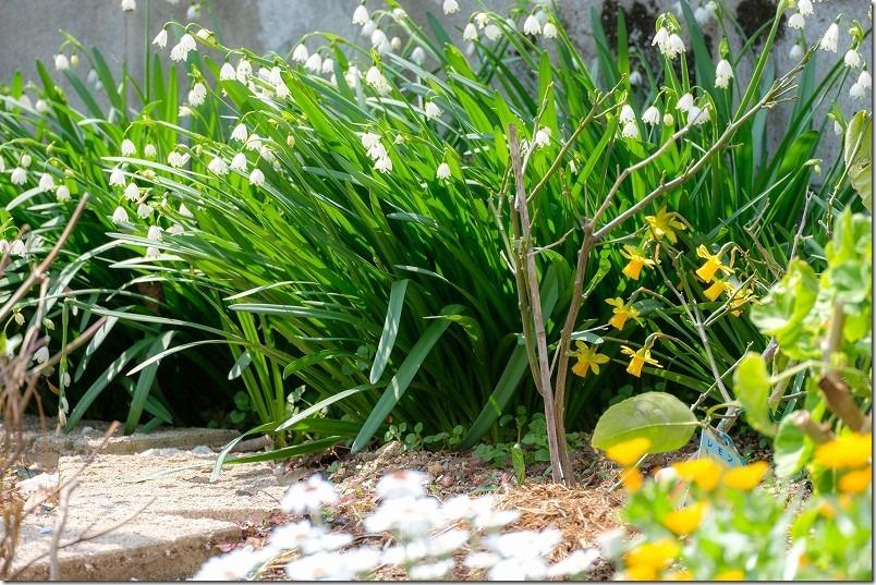 3月に咲いた花、すずらん水仙、ミニ水仙