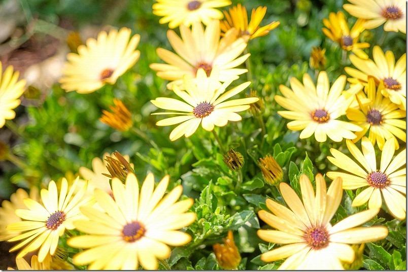 3月に咲いた花、オステオスペルマム/アキラ