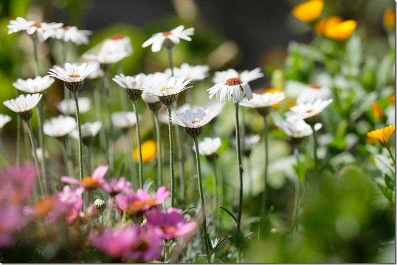3月に咲いた花、ローダンセマム