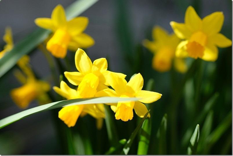 3月に咲いた花、ミニ水仙